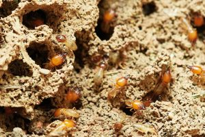 termites in the soil